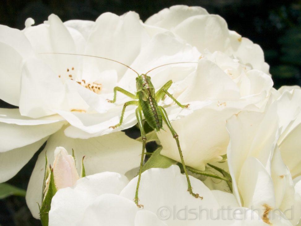 Grashüpfer | grasshopper