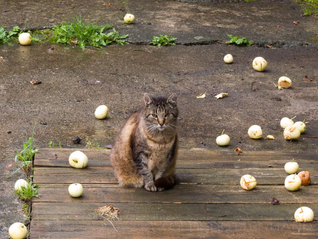 Künigsberger Katze