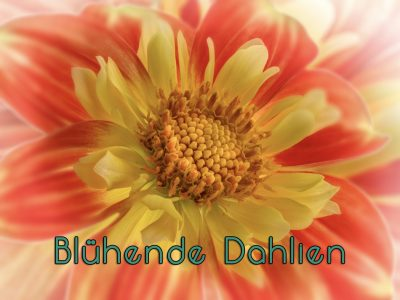 Garten-Dahlie (Dahlia × hortensis), Sorte 'Moonfire'