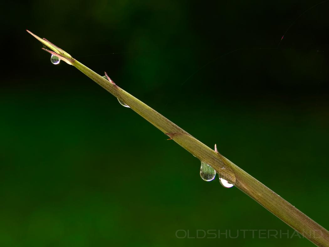 Bambusspitze mit Wassertropfen