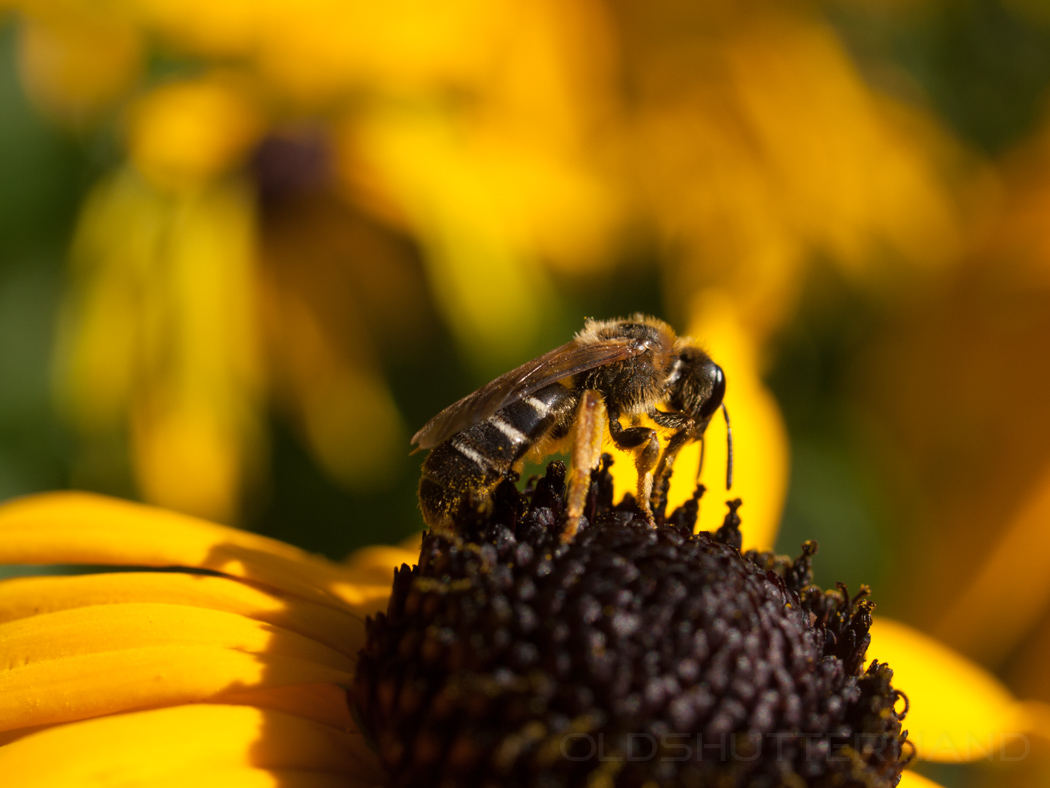 Biene auf Rudbeckie