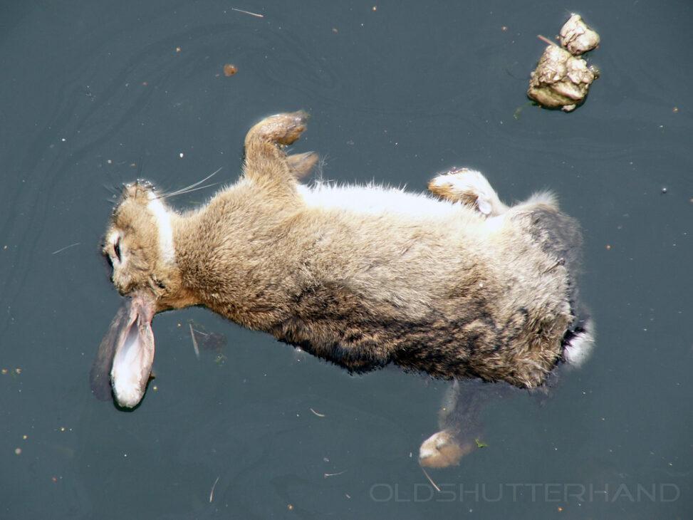 ertrunkenes Kaninchen