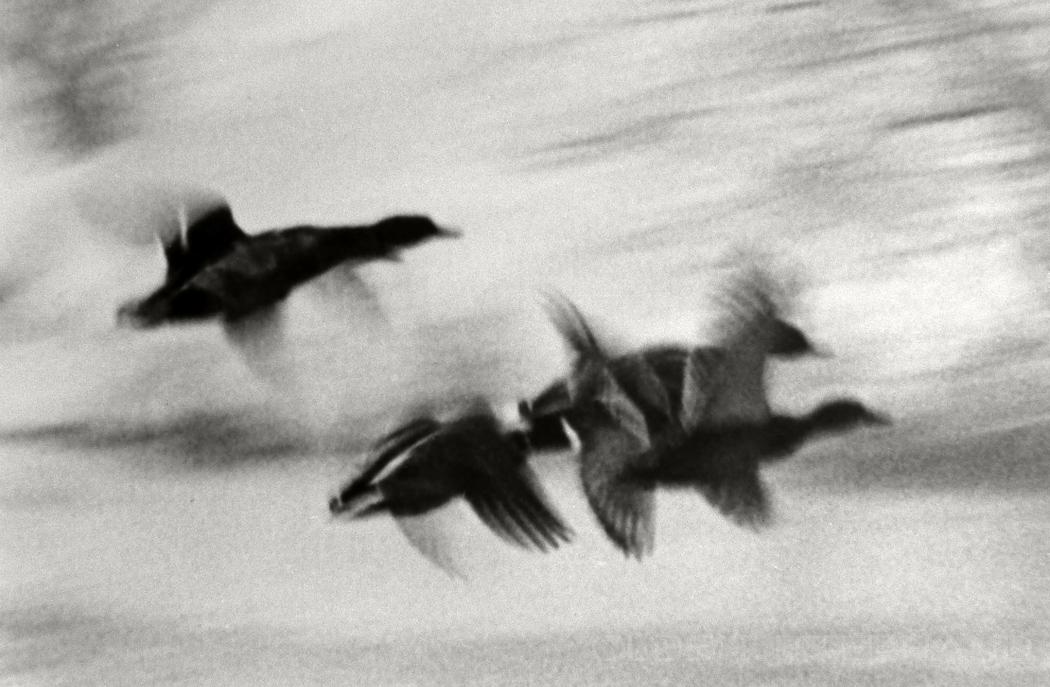 Fliegende Enten