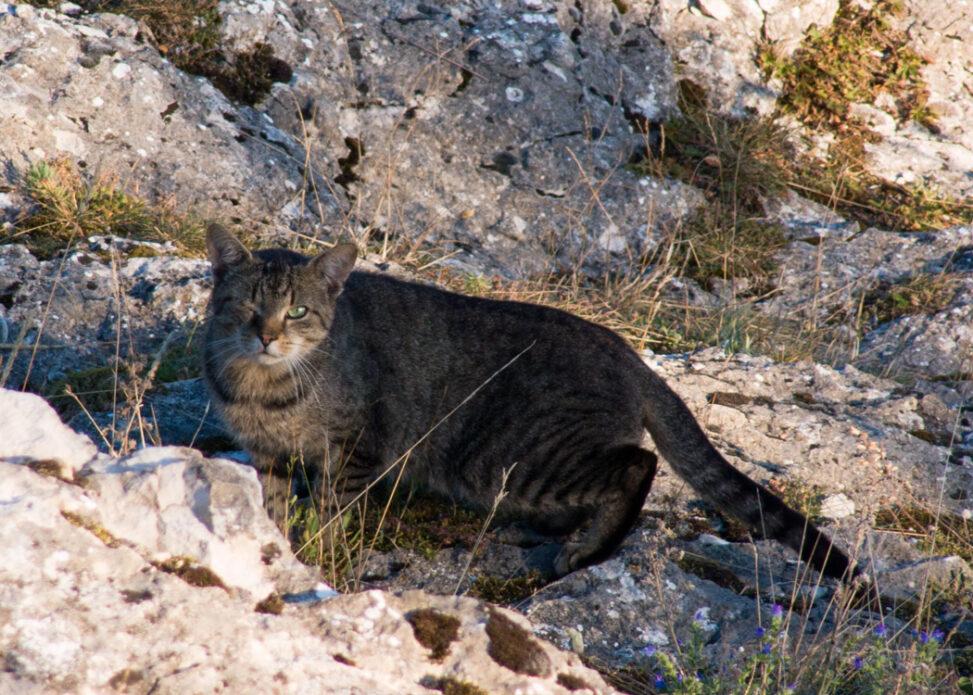 Katze im Gebirge