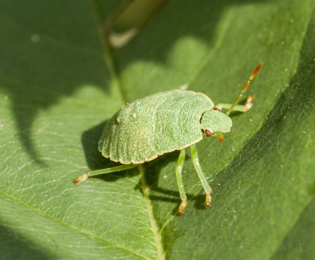 Grüne Blattwanze
