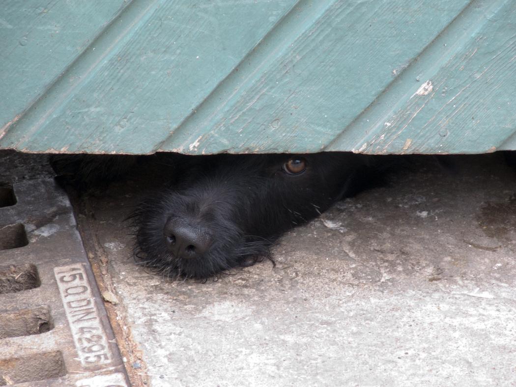Hund in Königsberg