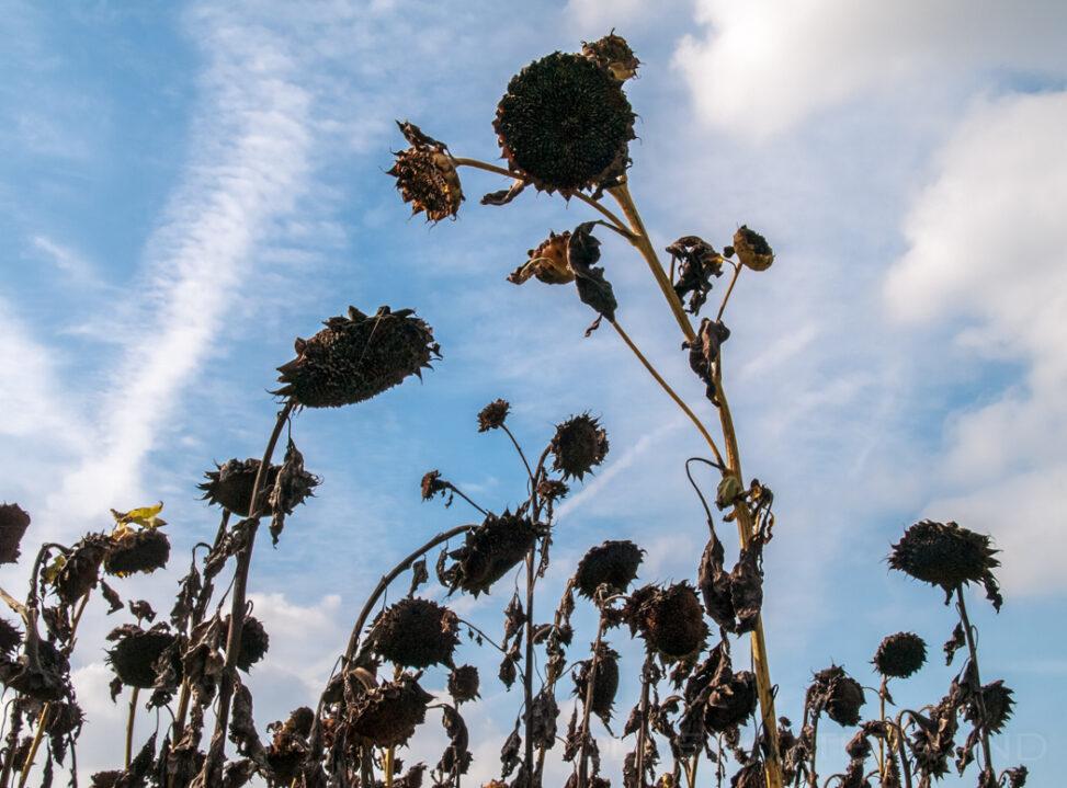 Sonnenblumen im Winter