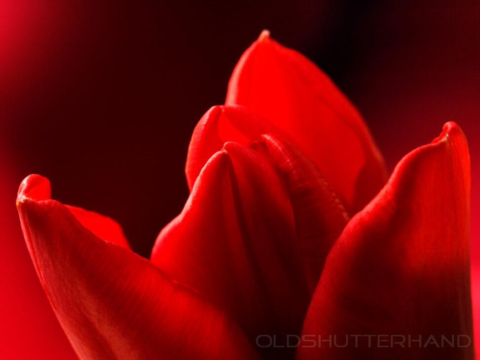Tulpe Rot_1077817