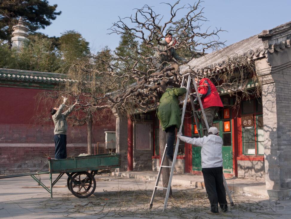 Baumschnitt im Beihai Park