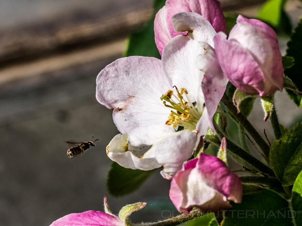 Biene im Anflug auf eine Apfelblüte