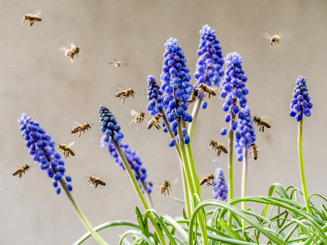 Bienen an Perlhyazinthen