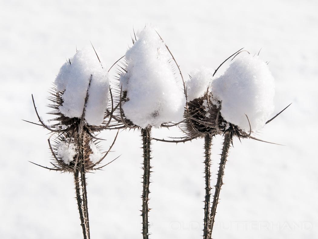 Disteln mit Schneedach