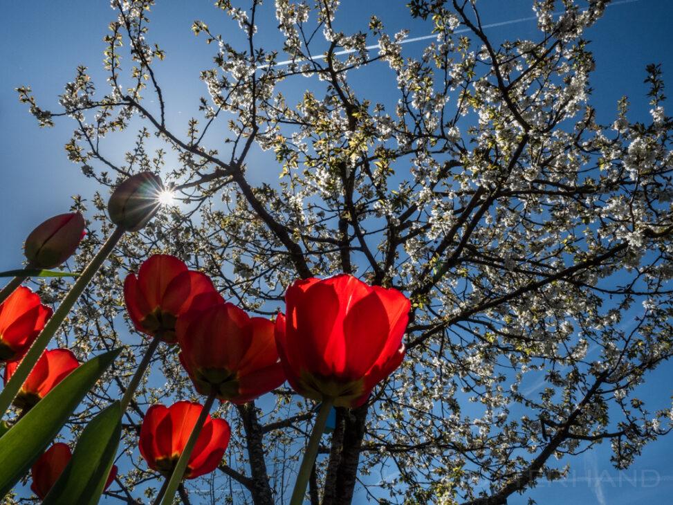 Kirsch- und Tulpenblüte