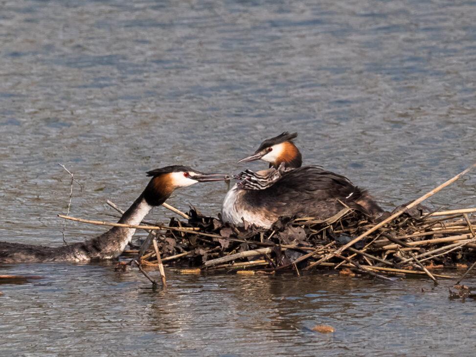 Haubentaucher Nest