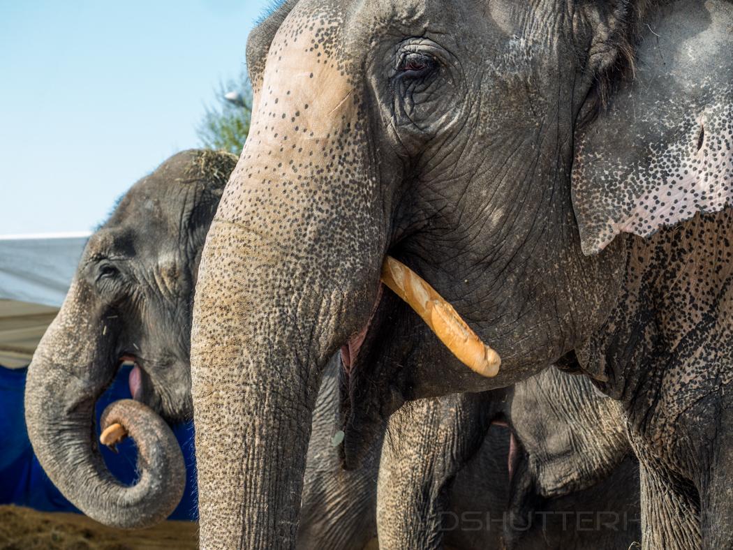 Zirkuselefanten in Nizza