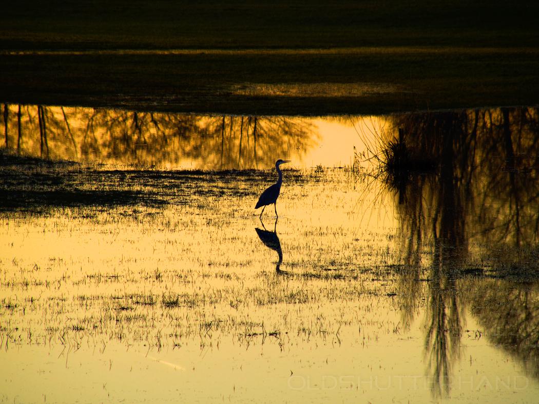 Reiher auf Hochwasserwiese