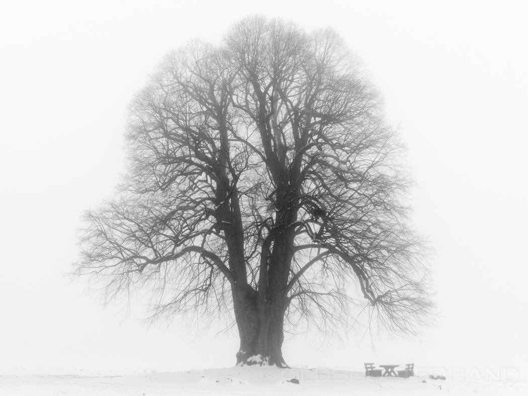 Der Lindenbaum …