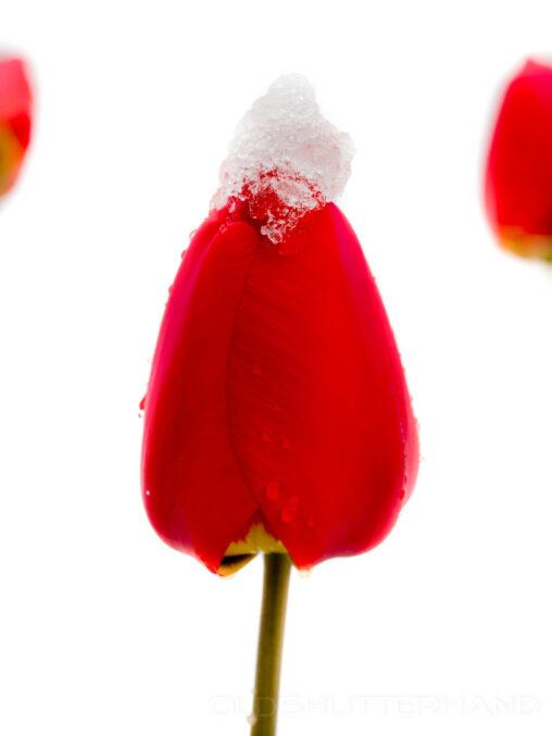 Tulpe mit Schnee