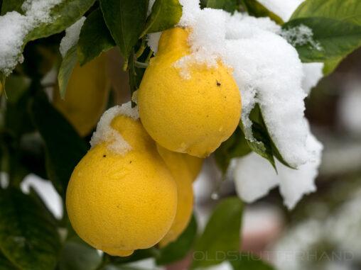 Zitronen mit Schnee