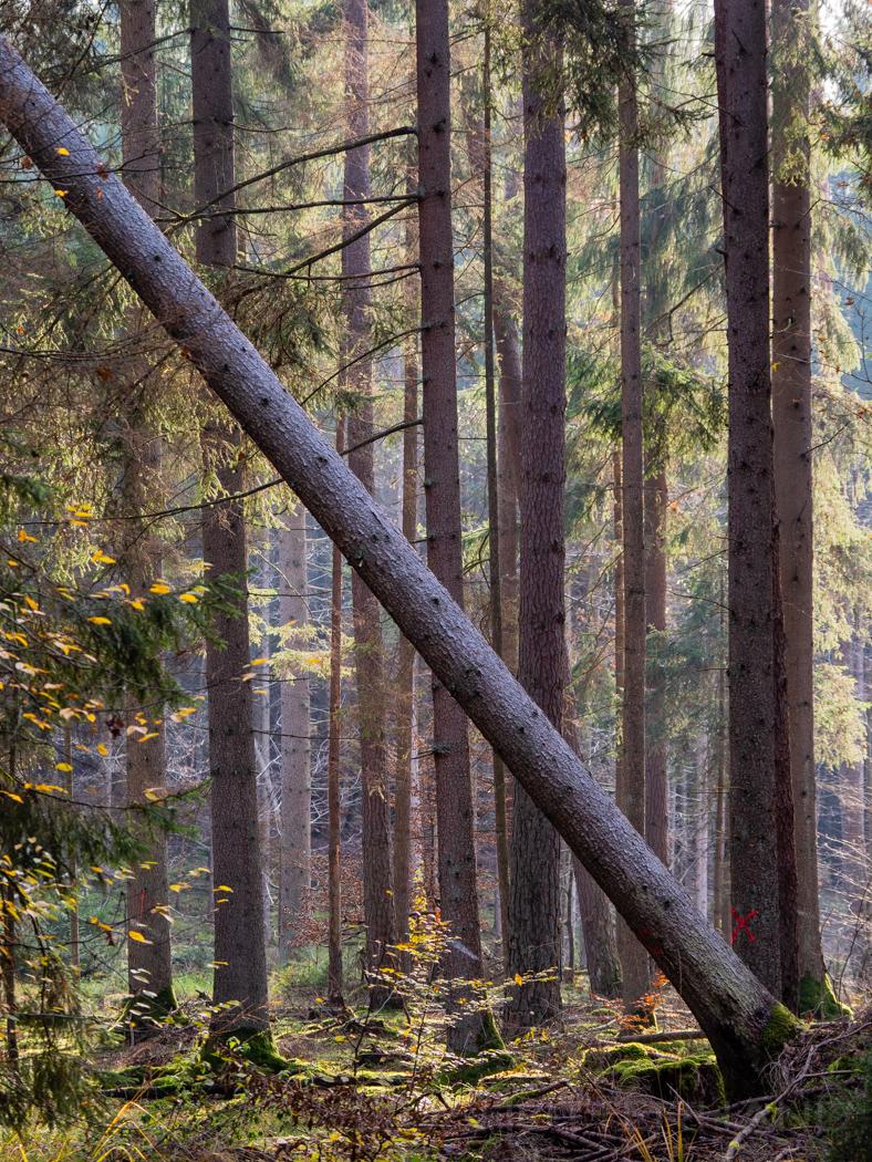 Bruderwald Baumstamm