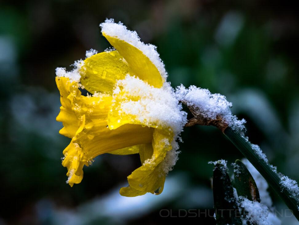 Osterglocke mit Schnee
